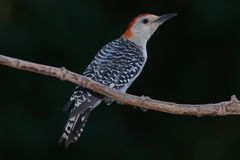 Red bellied wood pecker on branch. Red bellied wood pecker perching on a branch stock images