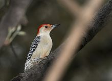 Red bellied wood pecker Royalty Free Stock Photography