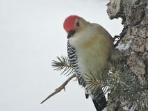 Red Bellied Wood Pecker on side of Pine Tree. Red Bellied Wood Pecker looking down from a side of a pine tree covered in snow! Colors of Red,White and Black royalty free stock image