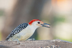 Red bellied wood pecker. Snatching foof from a feeder royalty free stock photography