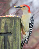 Red-bellied Woodpecker Stock Image