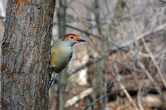 Red-bellied Woodpecker. On Side Of Tree Profile Royalty Free Stock Photo