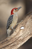 Red-bellied Woodpecker Stock Photo