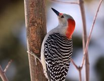 Red Bellied Woodpecker. Close-up of a woodpecker clinging to a branch of a tree Stock Photo