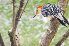 Red-Bellied Woodpecker Royalty Free Stock Image