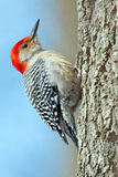 Red-Bellied Woodpecker royalty free stock photo