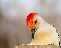 Red-bellied Woodpecker Stock Photography