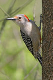 Red Bellied Woodpecker Stock Images