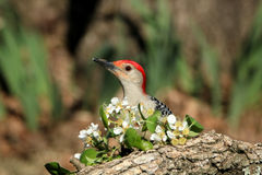 Red-bellied Woodpecker and Apple Blossoms. A beautiful red-bellied woodpecker peeks it`s head around some apple blossoms on a tree branch in spring, with a stock photography