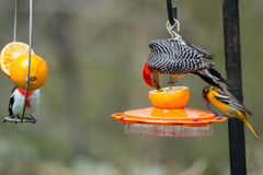 Red-bellied Woodpecker, Baltimore Oriole, and Rose-breasted Gros Royalty Free Stock Images