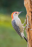 Red-bellied Woodpecker. A red-belled woodpecker perched on a pine tree Royalty Free Stock Images