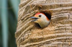 Red bellied woodpecker chirping at nest Stock Photos