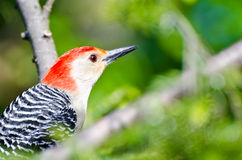 Red-Bellied Woodpecker Close Up Royalty Free Stock Photography