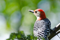 Red-Bellied Woodpecker Close Up Stock Photo