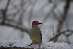 Red Bellied Woodpecker, cold toes. Stock Photos