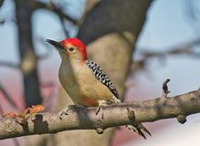 Red-bellied Woodpecker. Detailed image of Red-bellied Woodpecker on tree branch. With sky background royalty free stock images