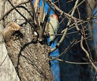 Red-Bellied Woodpecker Drilling into Tree Bark Stock Photo