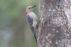 Red Bellied Woodpecker on a Dull Day Stock Photos