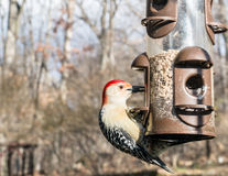 Red Bellied Woodpecker  eating  on a Bird Feeder Stock Photos