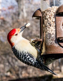 Red Bellied Woodpecker  eating  on a Bird Feeder Royalty Free Stock Images