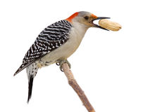 Red bellied woodpecker eats a peanut. Red bellied woodpecker holds a tasty treat in its beak. profile of woodpecker on a branch eating a peanut; isolated on a royalty free stock photo