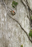 Red bellied woodpecker emerging from the nest Royalty Free Stock Images