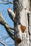 Red-bellied Woodpecker stock photos