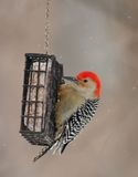 Red-bellied Woodpecker at feeder Stock Images