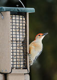 Red-Bellied Woodpecker on feeder Royalty Free Stock Photos