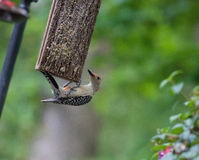 Red-Bellied Woodpecker Feeding on Suet Royalty Free Stock Photos