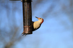 Red-bellied Woodpecker female Stock Image