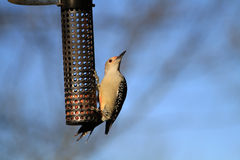 Red-bellied Woodpecker female Stock Images
