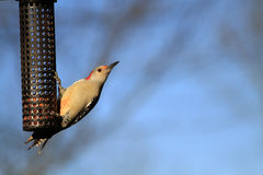 Red-bellied Woodpecker female Royalty Free Stock Image
