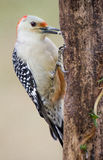 Red-bellied Woodpecker. A female red-bellied woodpecker is hitched to a dead pine tree Royalty Free Stock Photo