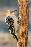 Red-bellied Woodpecker. A female red-bellied woodpecker is hithced to a dead pine tree royalty free stock image