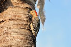 Red bellied Woodpecker Female. A female red-bellied woodpecker looking for insects near the ruff of a palm tree in Florida Stock Image