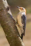 Red-bellied Woodpecker (female). A red-bellied woodpecker on an mountain ash tree Stock Photography