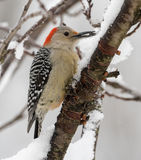 Red-bellied Woodpecker female. A Red-bellied Woodpecker perched on a snow covered branch during a snow storm in Pennsylvania in January 2015 stock images
