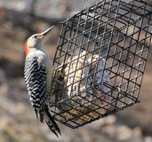 Red Bellied Woodpecker royalty free stock photography
