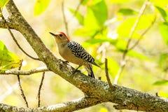 Red Bellied Woodpecker Stock Photo