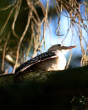 Red bellied woodpecker Stock Photography