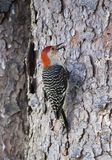 Red bellied woodpecker on pine tree Stock Photo