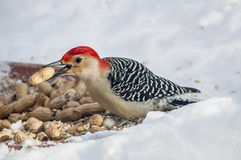 Red Bellied Woodpecker. Male red bellied woodpecker helping himself to some peanuts in the snow Stock Photo