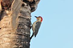Red bellied Woodpecker Male. A male red-bellied woodpecker looking for insects near the ruff of a palm tree in Florida Royalty Free Stock Photo