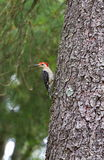 Red bellied woodpecker Royalty Free Stock Photo