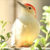 Red-bellied Woodpecker & x28;male& x29; royalty free stock photo