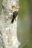 Red-bellied Woodpecker (Melanerpes carolinas) Royalty Free Stock Photo