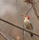 Red-bellied Woodpecker (Melanerpes carolinus) Stock Image