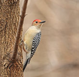 Red-bellied Woodpecker, Melanerpes carolinus Royalty Free Stock Image