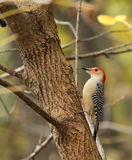 Red-bellied Woodpecker, Melanerpes carolinus Royalty Free Stock Photos